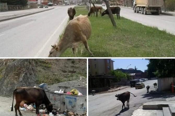 Kozluk İlçe Belediyesi: Sokaklardaki başıboş hayvanlar toplatılıp, ceza uygulanacak