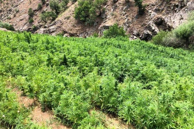 Uyuşturucu operasyonunda 6 milyon 110 bin kök keneviri ele geçirildi