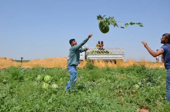 Termometrelerin 45 dereceyi gösterdiği Çınar'da karpuz hasadı devam ediyor