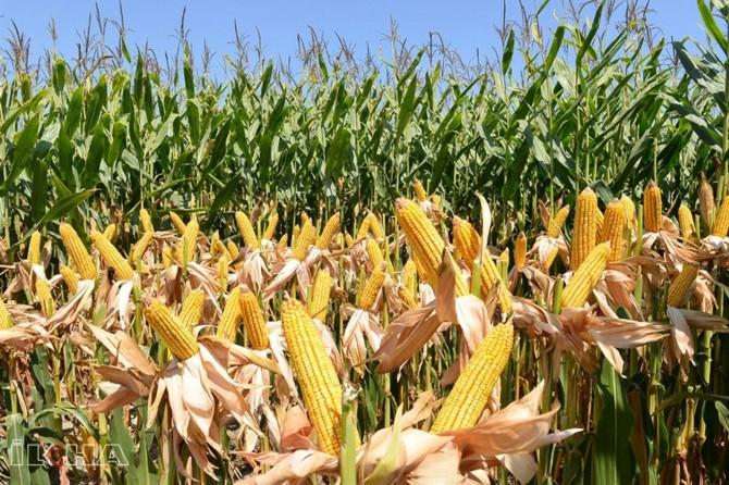 2020 yılı için mısır alım fiyatları belirlendi
