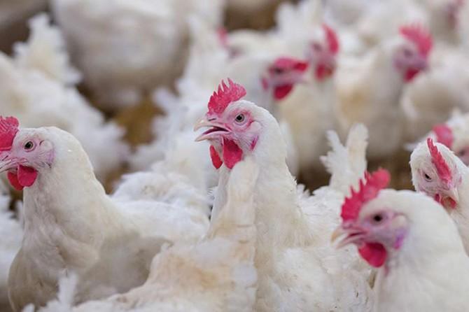 Tavuk eti üretimi 187 bin 979 ton olarak gerçekleşti