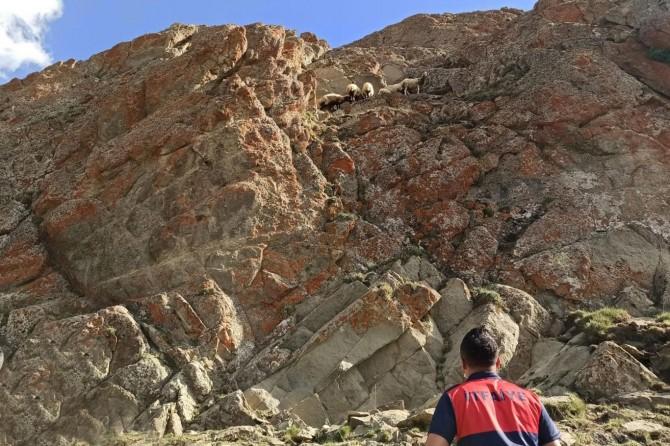 Saray'da kayalıklarda sıkışan koyun sürüsü kurtarıldı