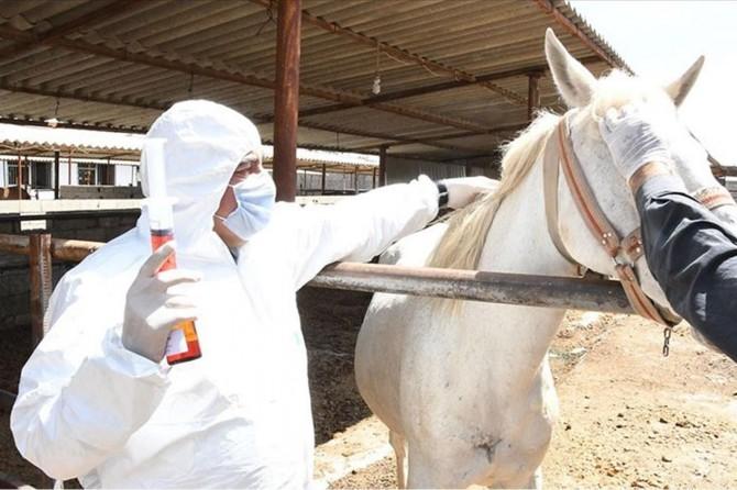 Adıyaman'da atlardan alınan plazmadan antikor elde ediliyor