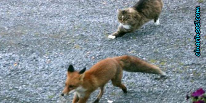 Kedi, tilkiyi kovaladı