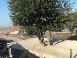 Asırlık ağaç ilgi çekiyor