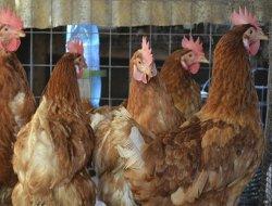 Kümes hayvancılığı üretimi arttı