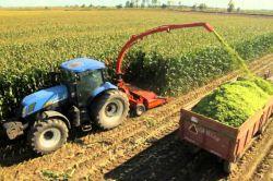 Çukurova'da silajlık mısır hasadına başlandı video foto