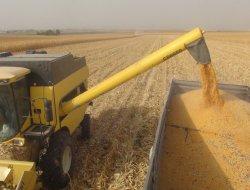 Çınar'da mısır hasadına başlandı-video-foto