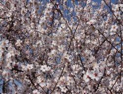 Ergani'de badem ağaçları çiçek açtı foto