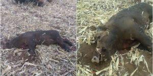 Mardin Derik'te biçerdöverin altında kalan yaban domuzu telef oldu