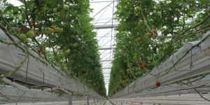Eksi 30 derecede domates üretiyorlar