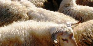 Hastalıklı hayvanların Türkiye'ye girişine yasaklama