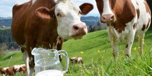 TÜİK verilerine göre toplanan inek sütü miktarı azaldı