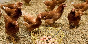TÜİK verilerine göre tavuk yumurtası üretiminde artış yaşandı