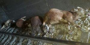 Bingöl Genç'te tünele giren ineklere tren çarptı