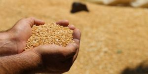 Randevu mağduru çiftçilerin buğdayı yerde kaldı