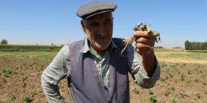 Diyarbakır'da yeşil fasulye üreticisinin başı yeşil kurtla dertte