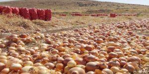 Çınar'da satılamayan tonlarca soğan tarlalarda çürüyor VİDEO-FOTO
