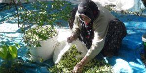 Zeytinin ana vatanında hasat zamanı