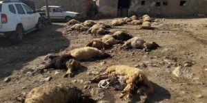 Mısır tarlasında otlayan 50 koyun telef oldu