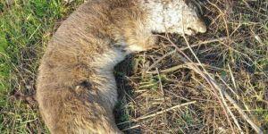 Dicle Nehri civarında ölü su samuru bulundu