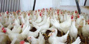 Türkiye ve Rusya arasında kanatlı hayvan ithalat ve ihracatı yapılacak