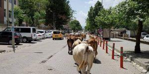 Başıboş inekler çarşı merkezini mesken tuttu