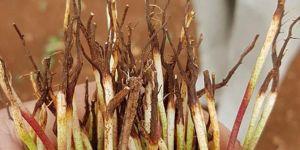 Şanlıurda'da hastalık bulaşan pamuk fideleri yeniden ekildi