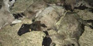 Elazığ-Maden Karayolunda kamyon devrildi: 5 kişi yaralandı 48 koyun telef oldu