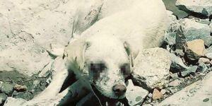 Hakkâri Valiliğinden gözleri oyulan köpek ile ilgili açıklama