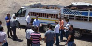 Batman Kozluk'ta genç çiftçi projesi kapsamında hibe hayvan dağıtıldı