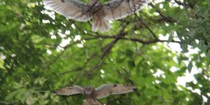 Diyarbakır Kayapınar'da okul bahçesine dadanan baykuşlar dikkat çekiyor