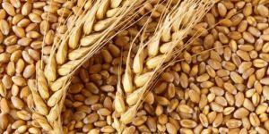 Buğday 1,01-1,30 liradan satıldı
