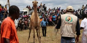 Soroti'deki kurbanlık deve ilgi odağı oldu