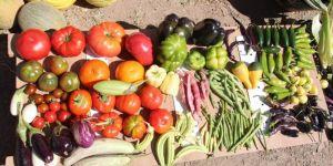 Yerli tohumlar yeniden hayat buluyor