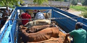Çiftçilere büyükbaş hayvan dağıtıldı