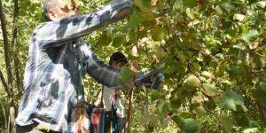 Bitlis Hizan'da fındık hasadı başladı