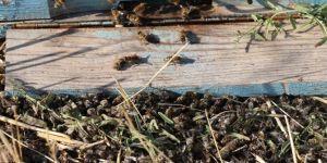 Ani yaşanan 'toplu arı ölümleri' arıcıları korkuttu