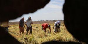 Karacadağ'da pirinç hasadı başladı
