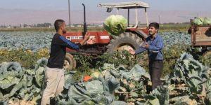 Muş Ovasında lahana hasadına başlandı