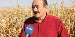 Çiftçinin mısırı tarlada çürüyor
