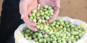 Derik zeytininin hasadı bereketli geçti