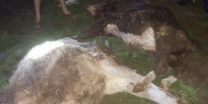 Şanlıurfa Siverek'te ahır çöktü: 2 inek telef oldu