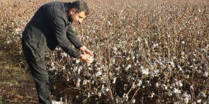 Şanlıurfa Harran'da yağış nedeniyle toplanılamayan pamuklar tarlada kaldı