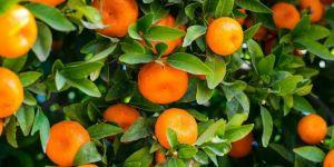 Russia blocks import of 490 tons of Turkish citrus