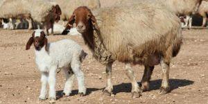 Üç haftada 35 bin kuzu doğumu gerçekleşti