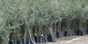 Zeytin ve badem fideleri daha çok satılıyor