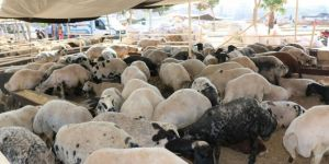 Kurban Bayramı sonrası besiciler hayvanlarını kestirmedi