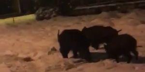 Bingöl'de aç kalan domuzlar şehre indi