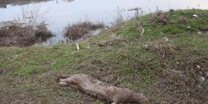 Dicle Nehri kenarında ölü su samuru bulundu